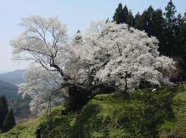 佛隆寺千年桜(佛隆寺の古桜)