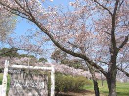 松本市城山公園の桜