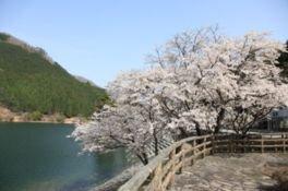 音水湖(引原ダム)周辺の桜