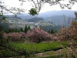 戦国夢街道ハイキングコースの桜
