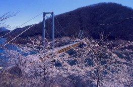 九頭竜湖の桜