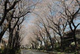綾西緑地の桜