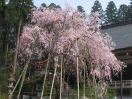 安居寺公園の桜