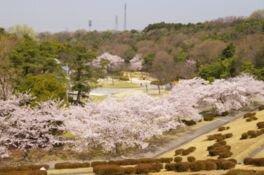山城総合運動公園の桜
