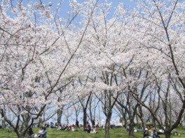 播磨中央公園 桜の園の桜