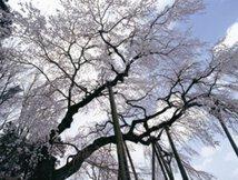 【桜・見頃】奥山田のしだれ桜