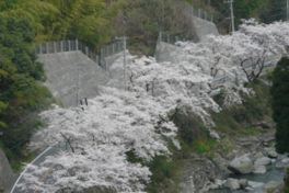 脊振桜街道の桜