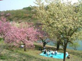 八塩いこいの森の桜