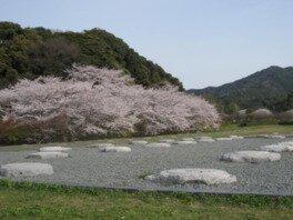 大宰府政庁跡(大宰府展示館)の桜