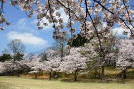 薬勝寺池公園の桜