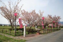 揖斐二度ザクラ公園の桜