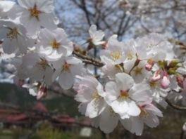 わち山野草の森の桜