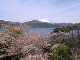 【駐車場閉鎖】恩賜箱根公園の桜