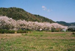 鮎乃瀬公園の桜