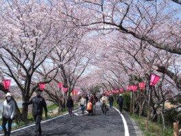 藤枝金比羅山・瀬戸川堤防の桜