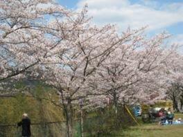 金比羅山公園の桜