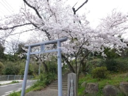 木ノ根神社の桜