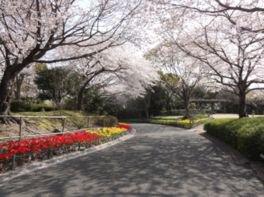 永源山公園の桜