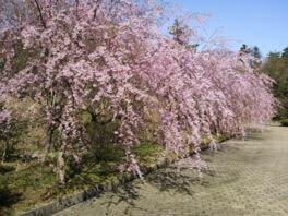 七尾市希望の丘公園の桜