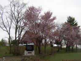 北竜町金比羅公園の桜