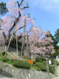 円正寺の桜