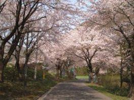 【臨時休園】大館市ベニヤマ自然パークの桜