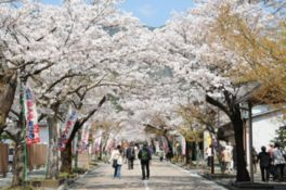 谷汲山華厳寺の桜