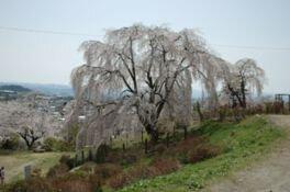 双松公園の桜