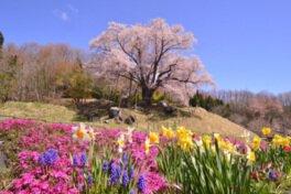 【観光客受入中止】越代の桜
