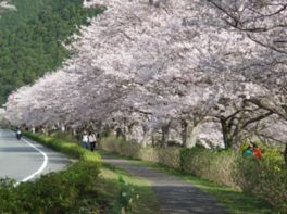 松崎町の桜