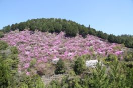 高雄・三尾一帯の桜