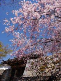 三千院門跡の桜