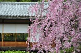 城南宮 神苑 楽水苑の桜