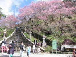 名護中央公園の桜