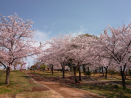 都立狭山公園の桜