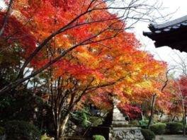 洛西(勝持寺)の紅葉