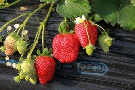 【開催中止】高梨いちご園 いちご狩り