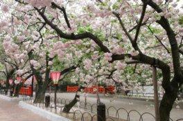 造幣局の桜の通り抜け【花見不可】