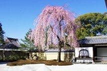 【桜・見頃】高台寺