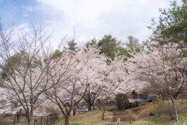 平尾山公園の桜