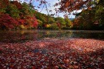 【紅葉・見頃】神戸市立森林植物園