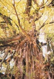 上高野山の乳下りイチョウの紅葉