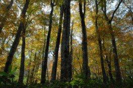 歌才ブナ林の黄葉