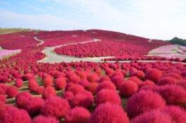 国営ひたち海浜公園 みはらしの丘のコキアの紅葉