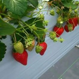 strawberry farm (ストロベリー ファーム) まあと工房 いちご狩り