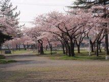 【桜・見頃】合浦公園