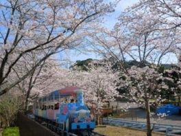 ハーモニーランドの桜