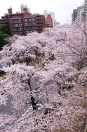 播磨坂さくら並木の桜