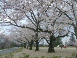 一の谷公園の桜