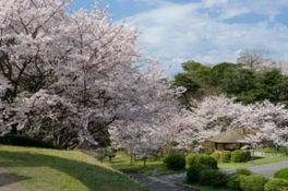 ときわ公園の桜